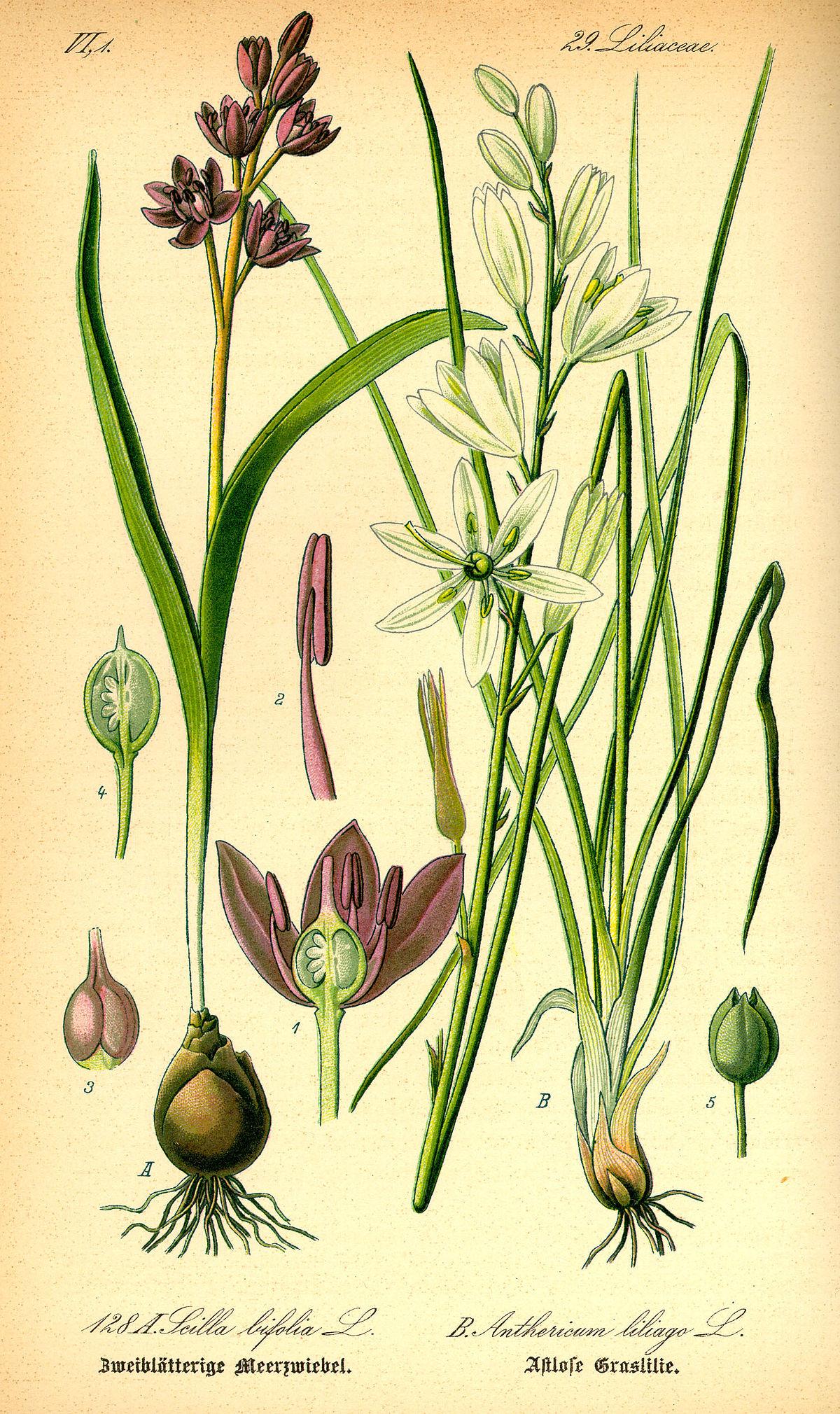 Phalangère à fleurs de Lis — Wikipédia
