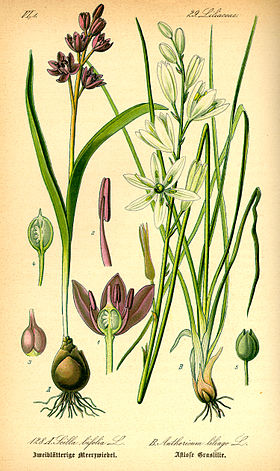 Illustration Scilla bifolia0.jpg