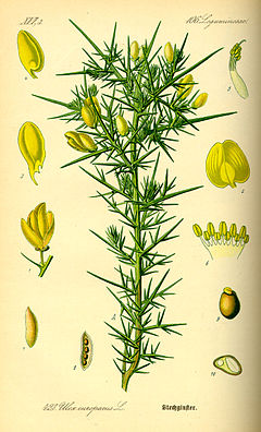 Illustration Ulex europaeus0.jpg