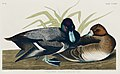 Illustration from Birds of America (1827) by John James Audubon, digitally enhanced by rawpixel-com 229.jpg