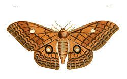 Illustrations of Exotic Entomology III 19.jpg