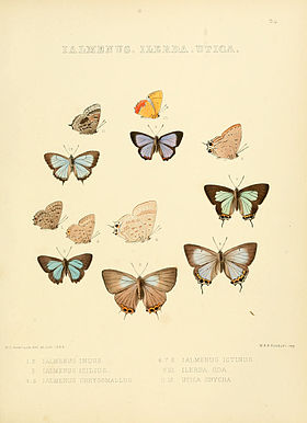 Illustrations of diurnal Lepidoptera 24.jpg