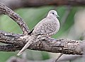 Inca Dove, southern Arizona 04.jpg