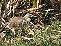 Indian Pond Heron DSCN5754.jpg