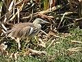 Indian Pond Heron DSCN5754.jpg