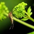 Inland Floodwater Mosquito (48453978902).jpg
