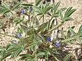 Intermountain lupine, Lupinus pusillus var. intermontanus (15709377122).jpg