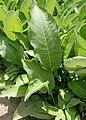 Inula helenium kz03.jpg