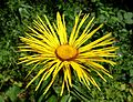 Inula magnifica - UBC Botanical Garden - Vancouver, Canada - DSC07786.jpg