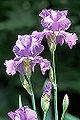 Iris pallida.jpg