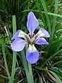 Iris unguicularis. Mahieddine Boumendjel.jpg