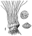 Isoetes × eatonii BB-1913-1.png