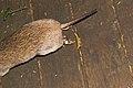 Isoodon macrourus (35346887375).jpg