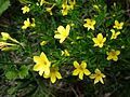 JASMINUM FRUTICANS - AGUDA - IB-094 (Gessamí groc).JPG