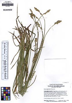 JEPS109118 Carex amplectens (5622477482).jpg