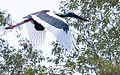 Jabiru female 2 (8668006236).jpg