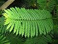 Jacaranda mimosifolia PAN leafs.JPG