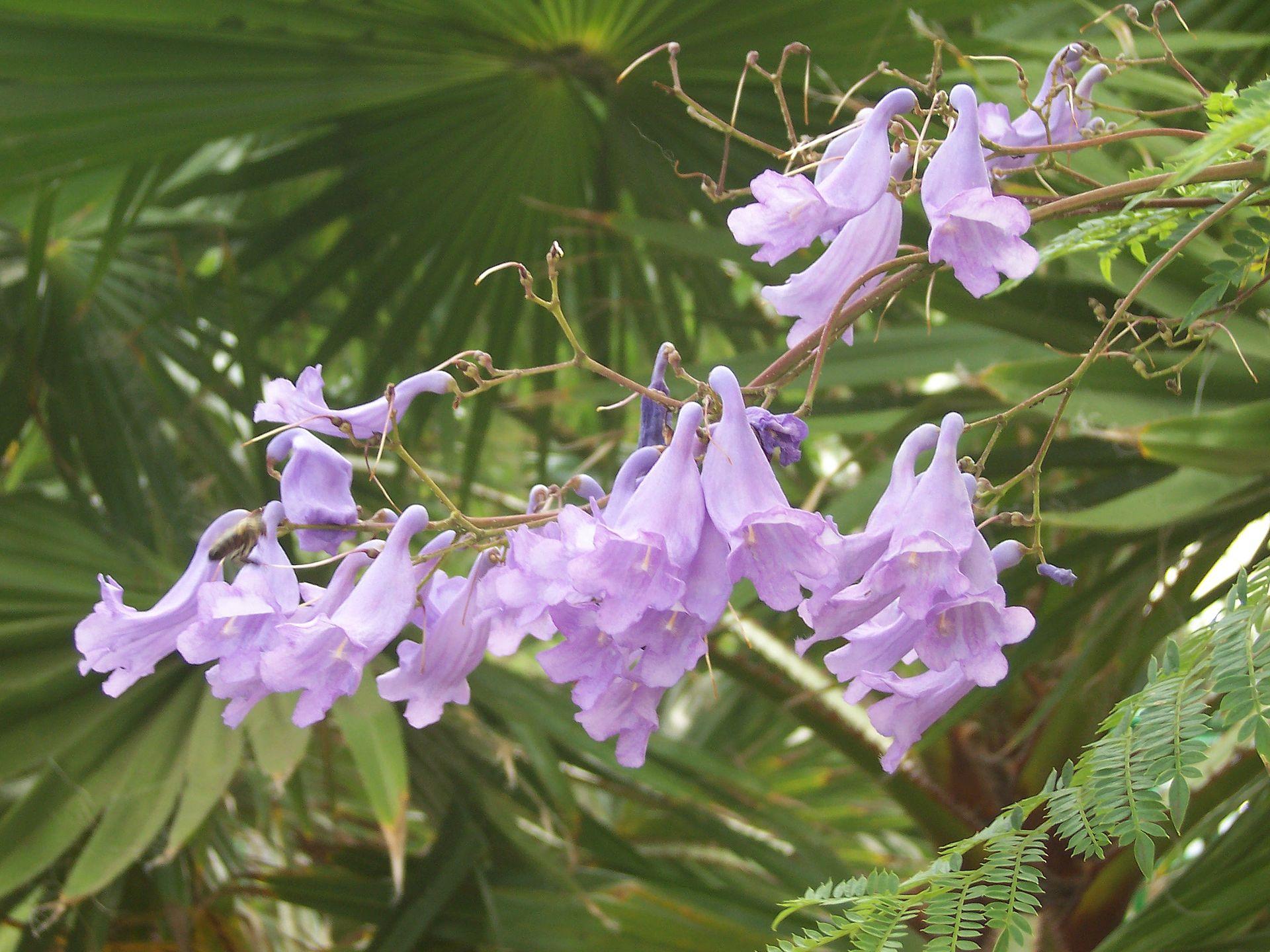 Jacaranda Mimosifolia Wikispecies