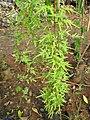 Japanese climbing fern (Lygodium japonicum) habit.jpg