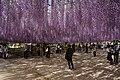 Japanese wisteria, Ashikaga Flower Park 2.jpg