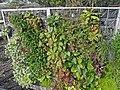 Jardin des Géants à Lille - Murs végétalisés - panoramio (2).jpg