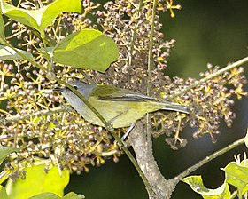 Javan Grey-throated White-eye (Lophozosterops javanicus).jpg