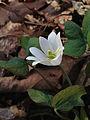 Jeffersonia diphylla - Twinleaf.jpg