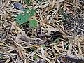 Jerdon's Nightjar (Caprimulgus atripennis) DSCN0976 02.jpg