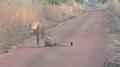 Jeune lion sur la piste.png