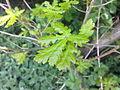 Jeunes feuilles de chêne à Grez-Doiceau 003.jpg