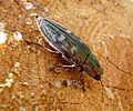 Jewel Beetle . Chalcophora mariana Buprestidae - Flickr - gailhampshire.jpg