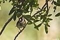 Jilguero (Carduelis carduelis parva)(♂) (6868385544).jpg