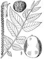 Juglans nigra illustration.png