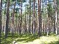 Juminda poolsaar Pikanomme tee mets.jpg