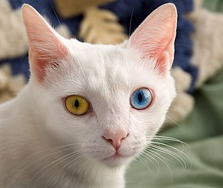 Heterochromia iridum disease resulting from genetics or injury causing someone to have different colored eyes