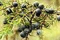 Juniperus.communis3.-.lindsey.jpg