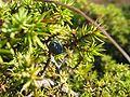 Juniperus communis.jpeg