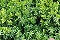 Juniperus procumbens 'Nana' (7).JPG