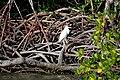 Juvenile little blue heron, Everglades National Park - panoramio.jpg