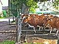 Kühe - panoramio (1).jpg