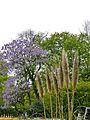 K ND 503.03.27 Blauglockenbaum 2.jpg
