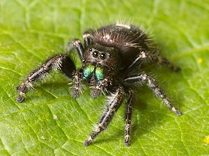 Chelicerae - The jumping spider Phidippus audax. The basal parts of the chelicerae are the two iridescent green mouthparts.