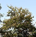 Kanchan tree Bauhinia variegata by Dr. Raju Kasambe DSCN0979 (6).jpg