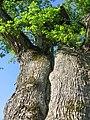 Kanepju oak.jpg