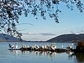 Kastoria pelicans.jpg