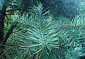 Keteleeria evelyniana kz1.jpg