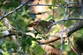 Key West Quail-dove 2495235609.jpg