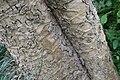Kigelia africana 38zz.jpg