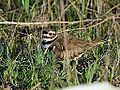 Killdeer (7196395490).jpg