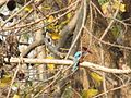 Kingfisher Pench.jpg